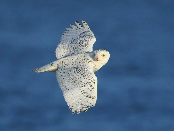 2014 Snowy Owl Exhibit