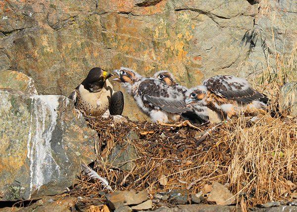 Peregrine Falcon Photo Exhibit