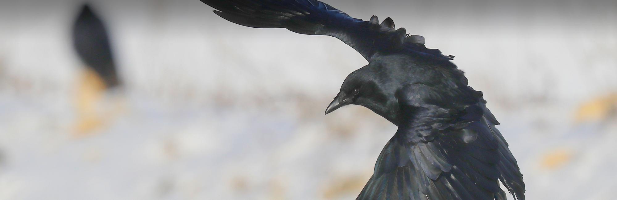2019 Crow Photo Contest
